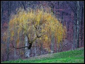 Yellow Willow