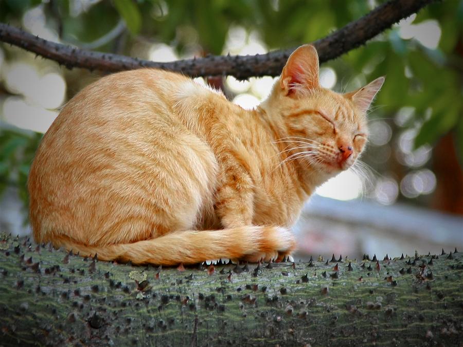 Fakir Cat